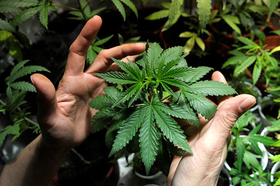 Самостоятельная конопля где в штатах разрешена марихуана