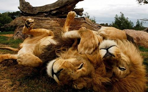 Голодные львы оставили отбраконьера только голову ипотроха