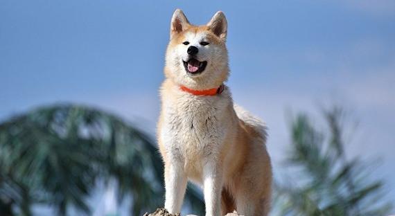 ВЯпонии представили щенка, которого подарят Алине Загитовой