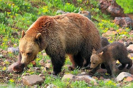 Шведские медведи смогли перехитрить местных охотников