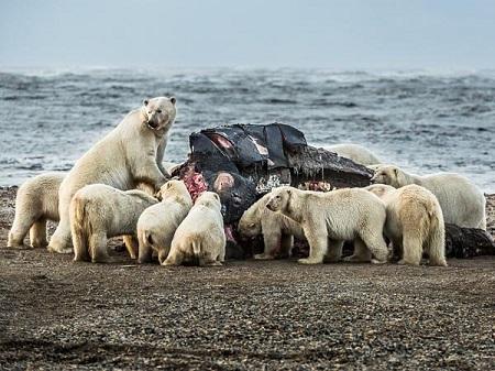 НаЧукотке зафиксировали особенно огромное скопление белых медведей