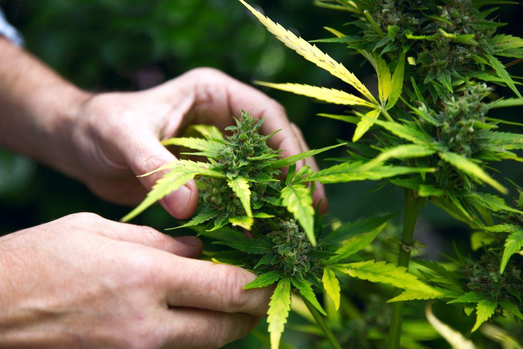 Когда собирать коноплю фото марихуана для вдохновения