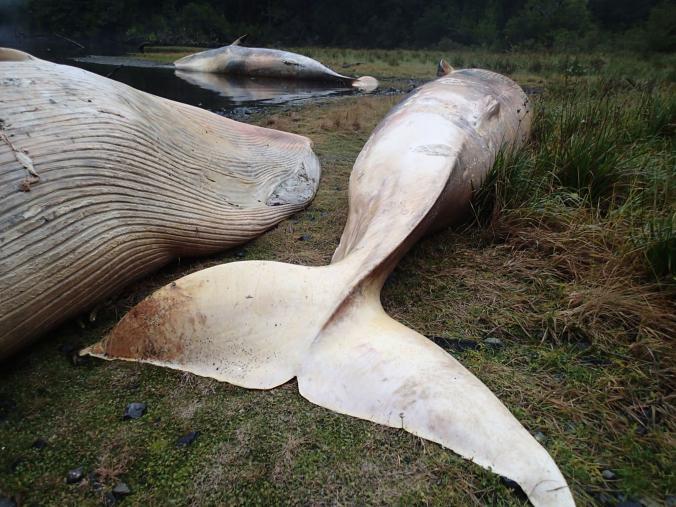 Ученые обнаружили на побережье Чили сотни выбросившихся китов